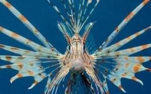 "Avvistato ""lionfish"" al Sud"
